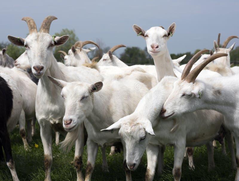 Cabras blancas afuera en prado contra el cielo nublado azul imágenes de archivo libres de regalías