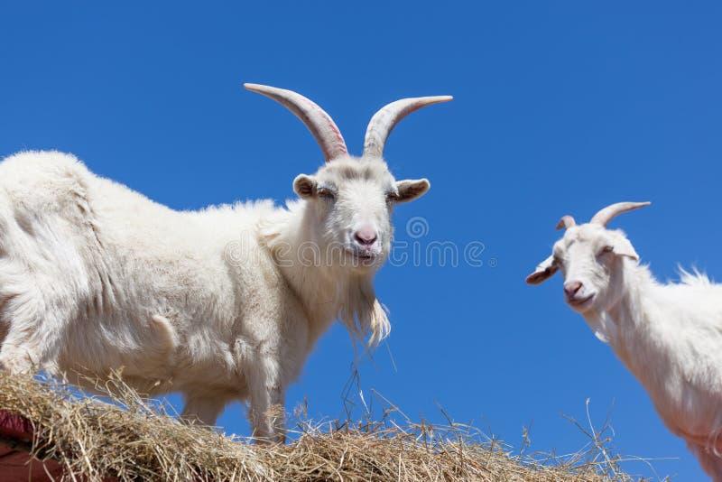Cabras blancas con el cielo azul imagen de archivo libre de regalías