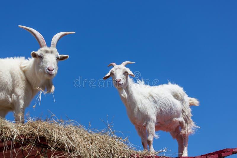 Cabras blancas con un cielo azul foto de archivo libre de regalías