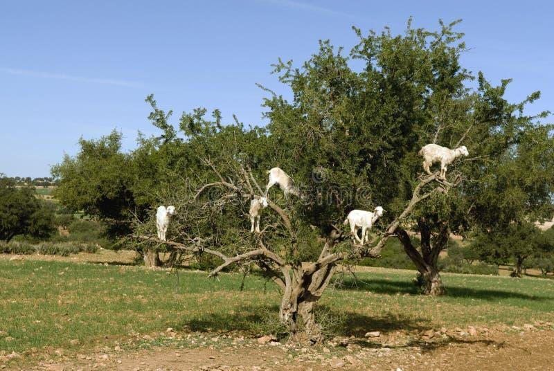 Cabras blancas en un árbol del Argan imagen de archivo