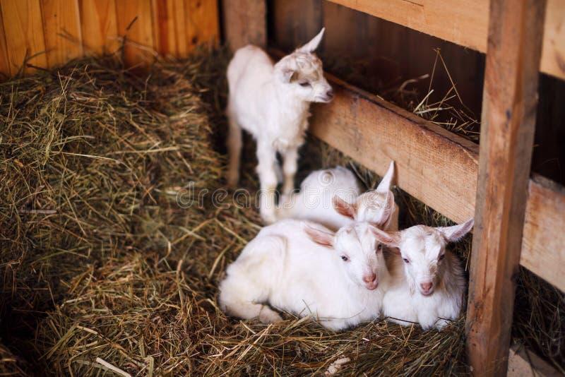 Cabras blancas y lindas del bebé en un granero foto de archivo libre de regalías