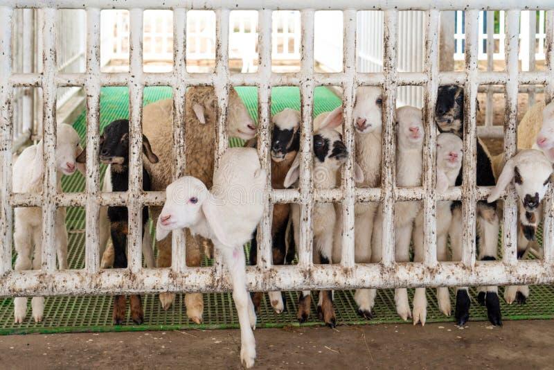 Cabras blancas y lindas del beb? en un granero El escape de una pequeña cabra de una jaula el concepto de libertad imágenes de archivo libres de regalías