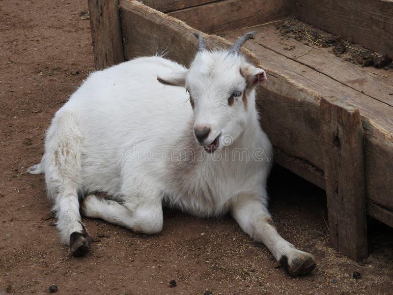 Cabras blancas y lindas del beb? en un granero Peque?as cabras en el heno fotografía de archivo libre de regalías