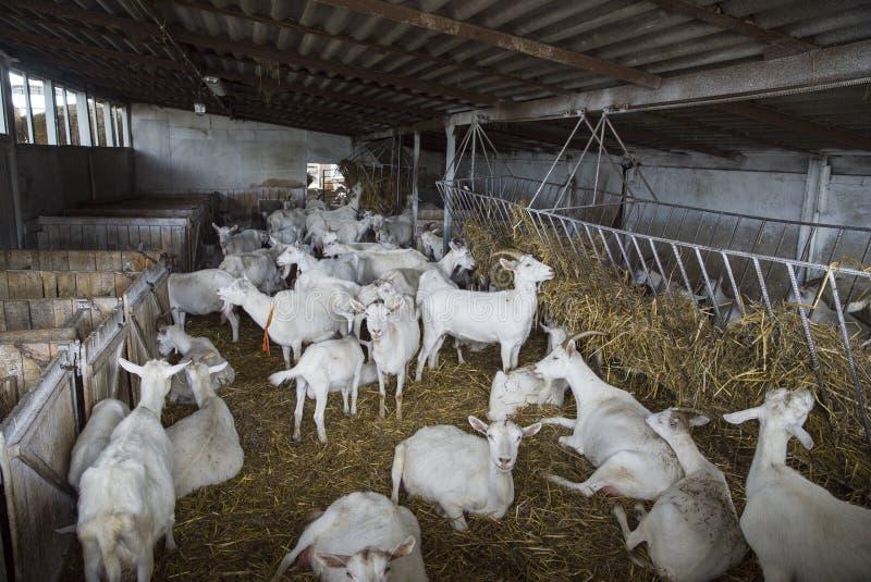 Cabras brancas de Saanen do suíço na exploração agrícola imagem de stock royalty free