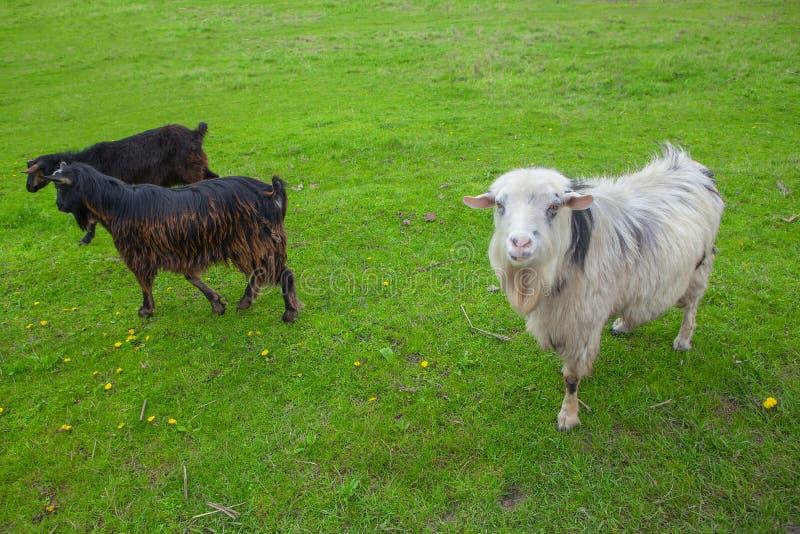 Cabras brancas e pretas imagem de stock