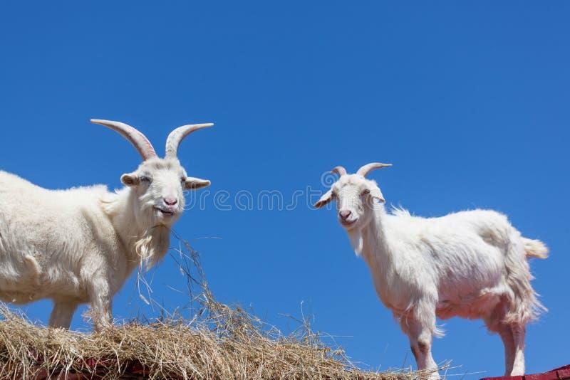 Cabras con un cielo azul imágenes de archivo libres de regalías