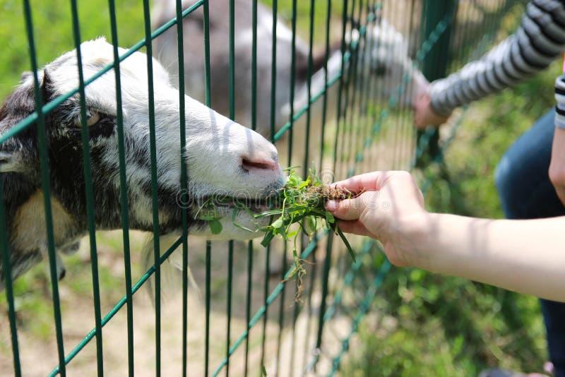 Cabras da alimentação das crianças no jardim zoológico fotografia de stock