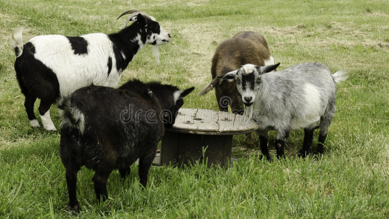 Cabras da mesa redonda fotografia de stock