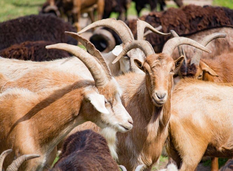 Cabras da reunião em grandes rebanhos foto de stock royalty free