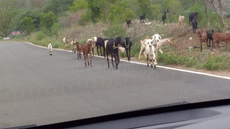 Cabras das cabras das cabras fotografia de stock royalty free