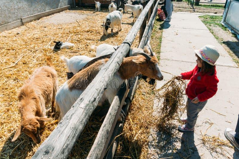 Cabras de alimentação da moça fotos de stock
