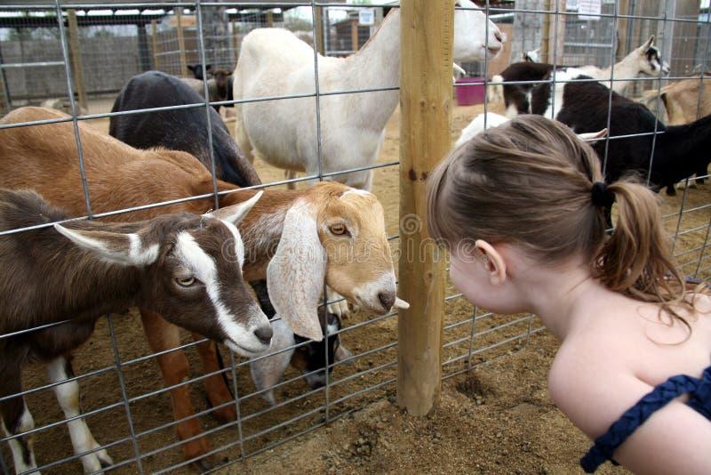 Cabras de Billy que hablan con un niño fotografía de archivo libre de regalías