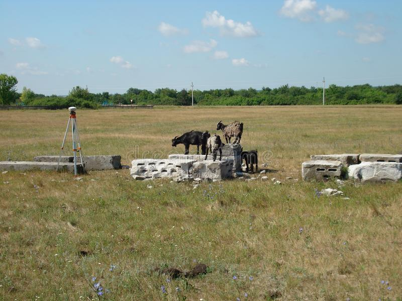 Cabras de la estepa foto de archivo