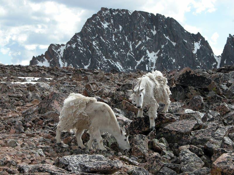 Cabras de montaña alpestres foto de archivo