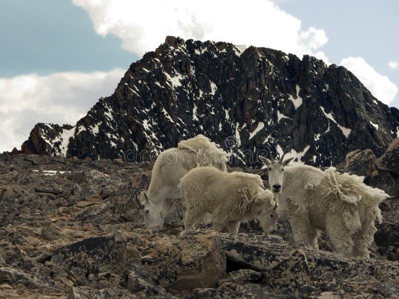 Cabras de montaña alpestres imagenes de archivo