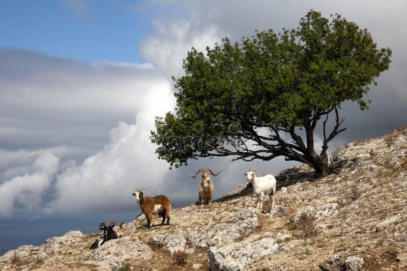 Cabras de montaña con un árbol en la montaña imagen de archivo libre de regalías