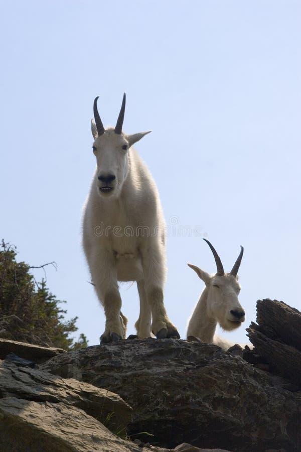 Cabras de montaña en colmo imagenes de archivo