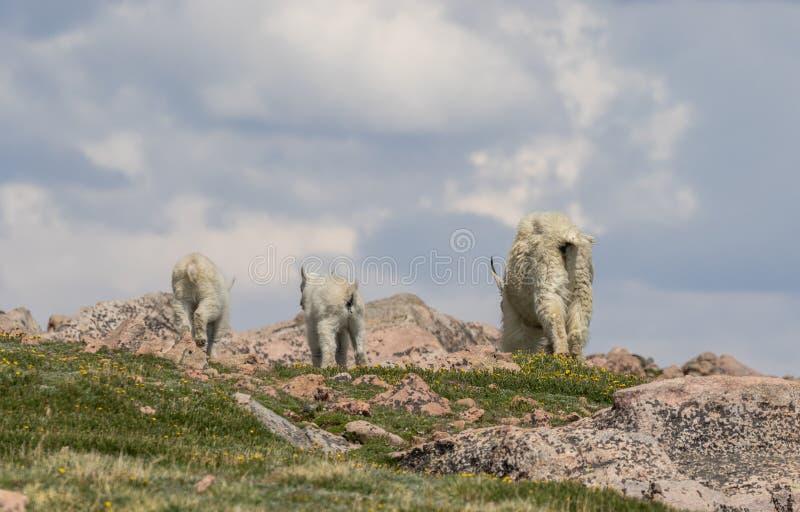 Cabras de montaña en Colorado en verano foto de archivo libre de regalías