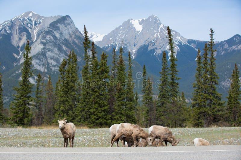 Cabras de montaña en el lado del camino imagenes de archivo