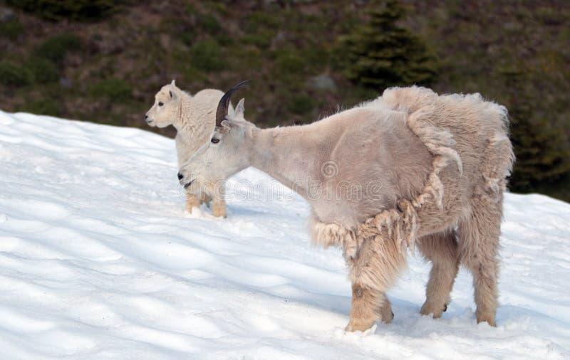 Cabras de montaña - madre con el bebé en campo de nieve de la colina/de Ridge del huracán en parque nacional olímpico en Washingt foto de archivo
