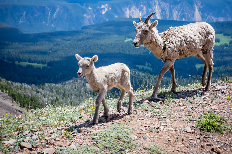 Cabras de montaña madre y bebé imágenes de archivo libres de regalías