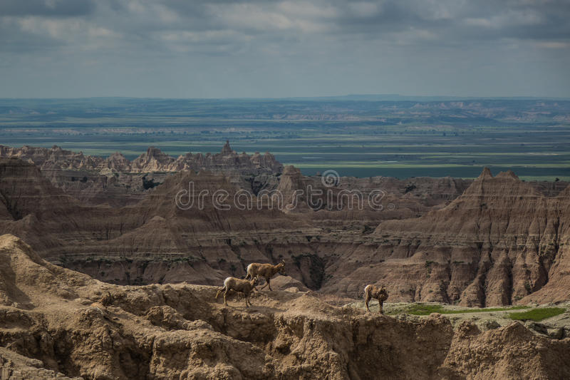 Cabras de montaña, pináculos, motas y chapiteles, parque nacional de los Badlands, SD imagenes de archivo