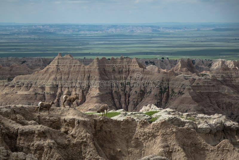 Cabras de montaña, pináculos, motas y chapiteles, parque nacional de los Badlands, SD fotos de archivo libres de regalías