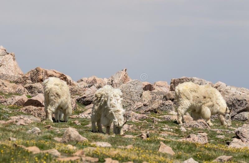 Cabras de montaña que pastan en Colorado en verano imágenes de archivo libres de regalías