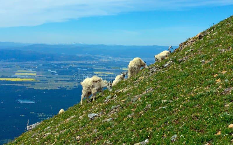 Cabras de montaña que pastan en una ladera escarpada imagen de archivo