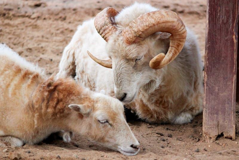 Cabras de montanha fêmeas e masculinas imagens de stock royalty free