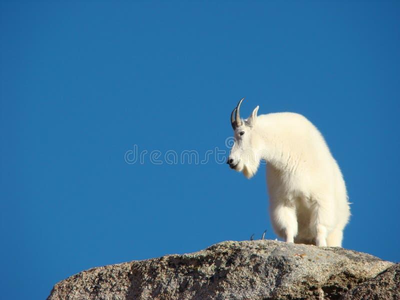Cabras de montanha na montagem Evans fotos de stock