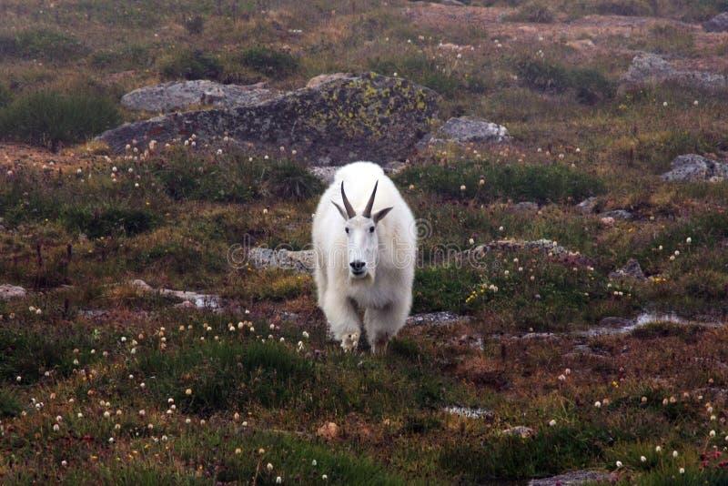 Cabras de montanha no Mt evans fotos de stock