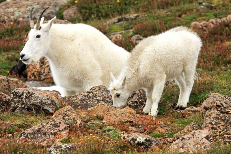 Cabras de montanha no Mt evans foto de stock