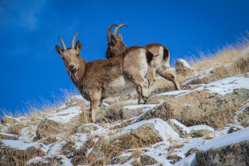 Cabras de montanhas em Kirgizstan foto de stock