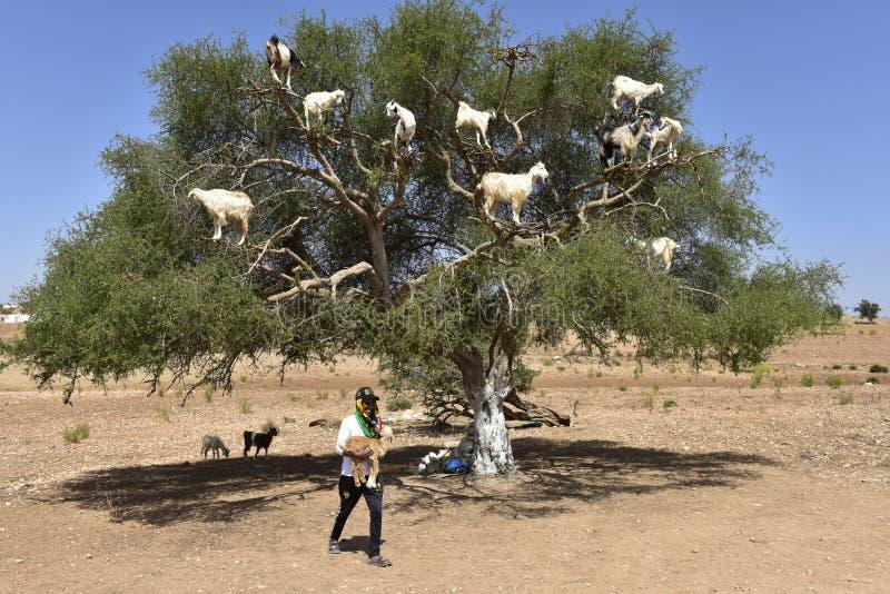 Cabras del árbol en Marruecos con el cabrero foto de archivo libre de regalías
