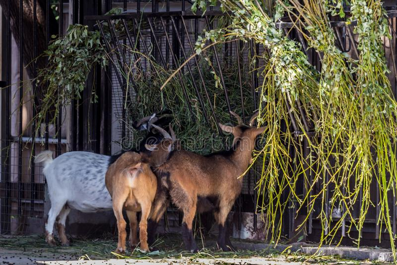 Cabras del Camerún que comen la hierba Los animales domésticos se cierran para arriba foto de archivo libre de regalías