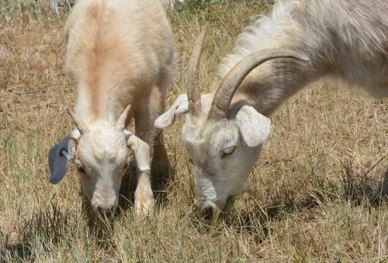 Cabras del kiko del niño de la madre y del bebé imágenes de archivo libres de regalías