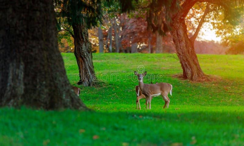 Cabras do capreolus dos cervos de ovas que comem a grama imagens de stock royalty free
