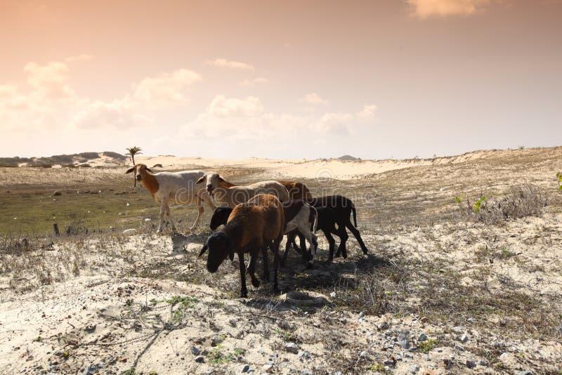 Cabras do deserto imagens de stock