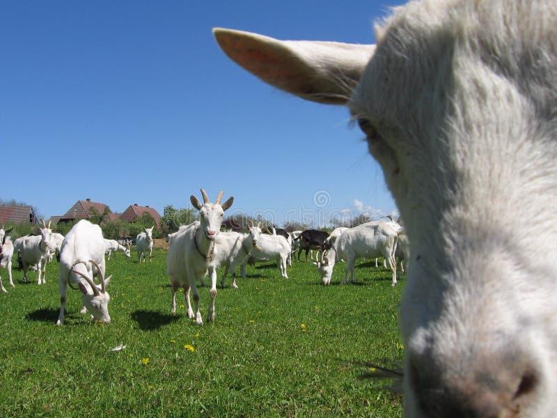 Cabras em um campo fotografia de stock