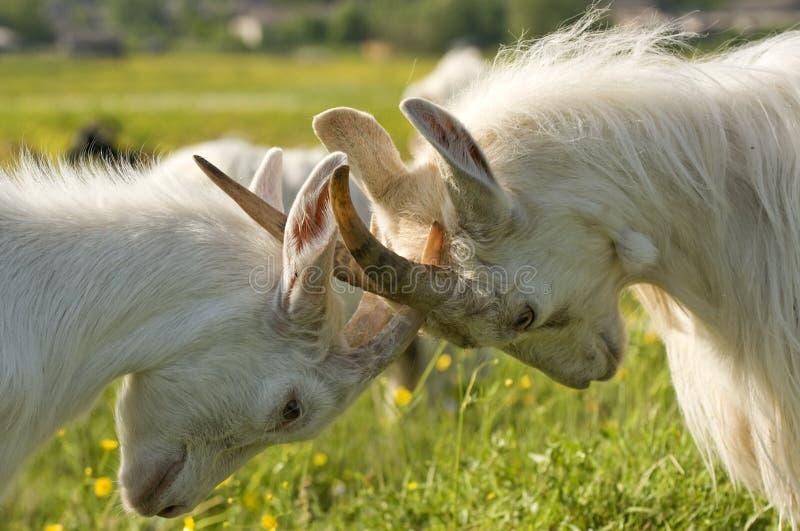 Cabras empalmadas. fotografía de archivo libre de regalías