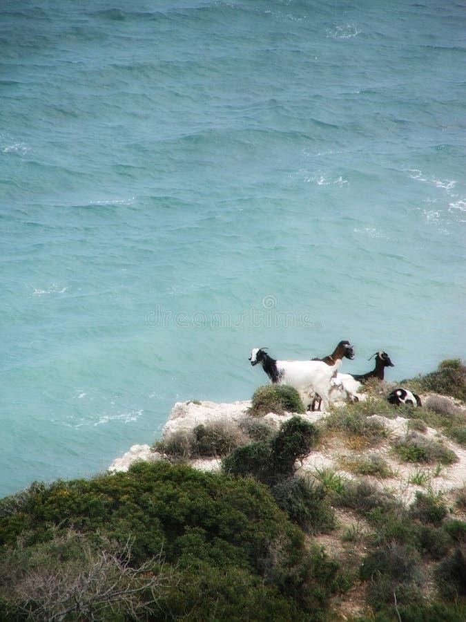 Cabras en azul foto de archivo libre de regalías