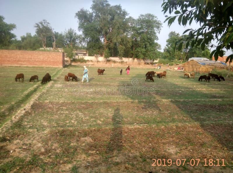 Cabras en campo comer la hierba fotos de archivo