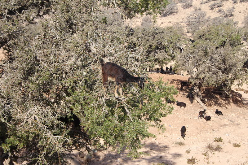 Cabras en el árbol del argan, Marruecos fotografía de archivo libre de regalías