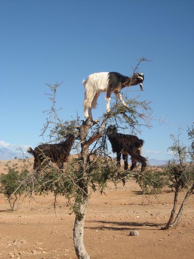 Cabras en el árbol del Argan, Marruecos imagen de archivo