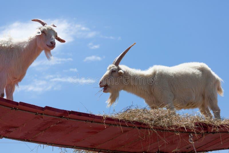 Cabras en el cielo foto de archivo