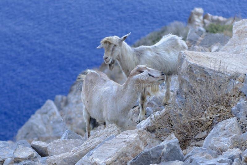Cabras en la costa costa rocosa fotos de archivo libres de regalías