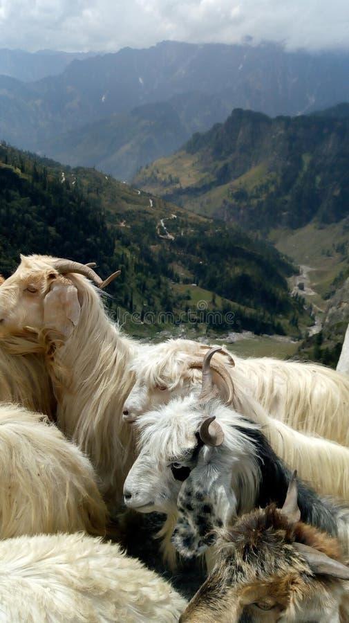 Cabras en la montaña foto de archivo libre de regalías