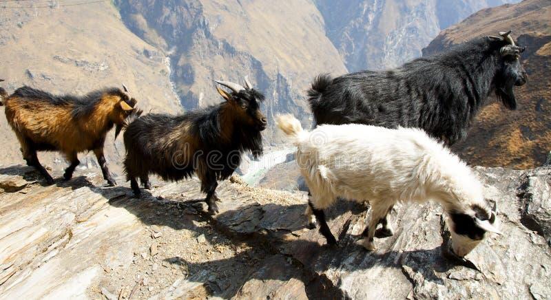 Cabras en la trayectoria de la montaña foto de archivo