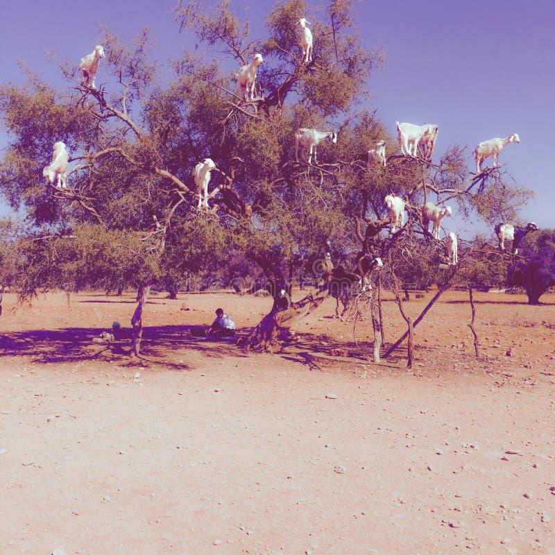 Cabras en los animales de Marruecos del árbol del Argan imagen de archivo libre de regalías